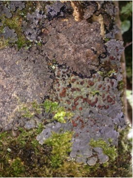 A lichen covered trunk featuring Degelia cyanaloma and Pannaria rubiginosa.