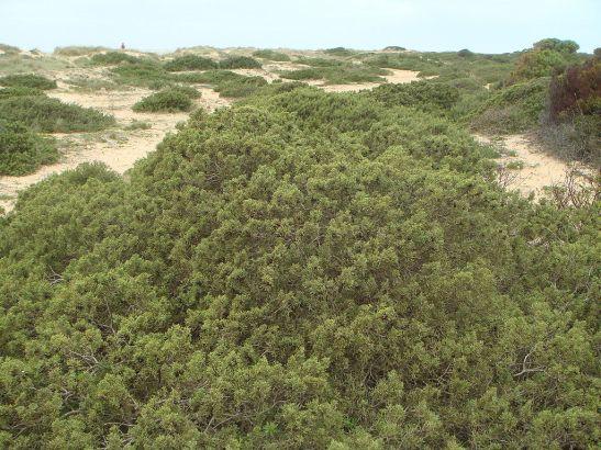 Juniperus phoenicea subsp. turbinata. Source: Wikipedia