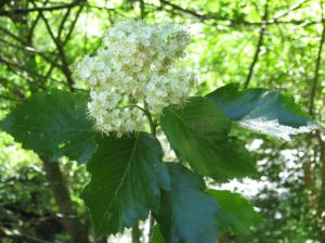 Sorbus admonitor, known as Sorbus No Parking (for the sign nailed to a tree), is found only in Devon.